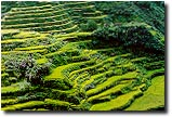 Terraces planted with rice