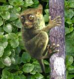 Bohol's primate