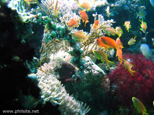 scuba diving picture of basslet fishes & corals taken with an underwater camera in the Philippines