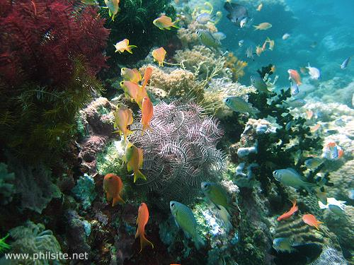 Underwater picture of Basslets on a coral reef teeming with other plant and animal life.