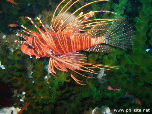 underwater picture of a lion fish