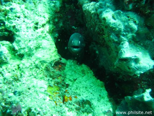 White eyed Moray eel found in Palawan islands in the Philippines