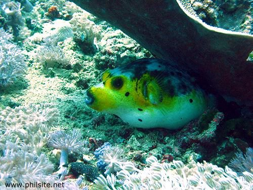 Puffer fish or blowfish, underwater photo taken in Cebu, Philippines