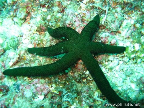 Green Starfish picture taken at Bohol, Philippines