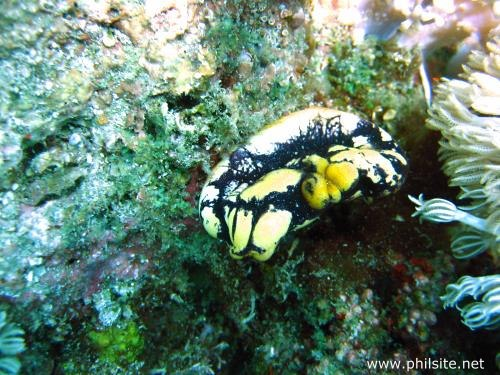Photograph of a golden sea squirt taken in Bohol island
