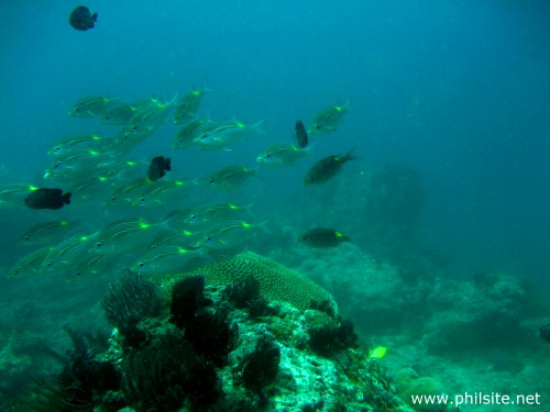 Underwater photo of a school of yellow spot emperor fish, taken in Palawan, Philippines