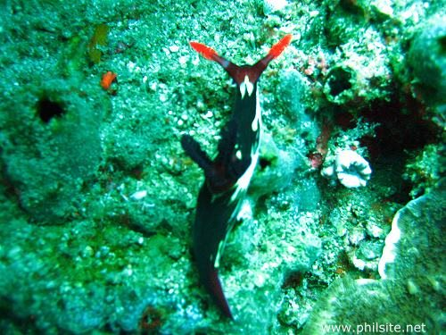 Beautiful underwater picture of a black, white & red nudibranch found in Bohol island, the Philippines